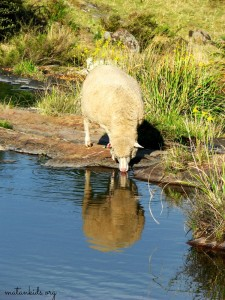 sheep drinking; Matan